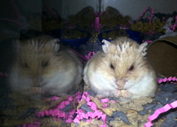 Hamster Club :: How we ended up with 14 hamsters in our