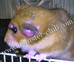 hamster cancer / tumour