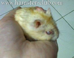 hamster-anal-prolapse