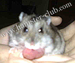 hamster cyst