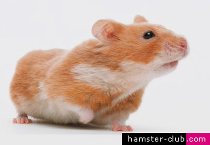 Hamster Shows