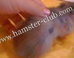 Hamster Scent Glands
