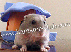 hamster age