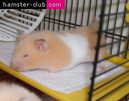 Hamster Lordosis