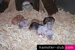 hamster reproduction