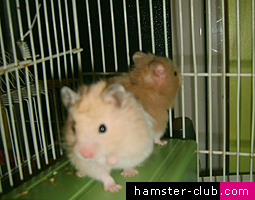 Hamsters up for adoption